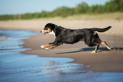 beautiful dog running on the beach Royalty Free Stock Images