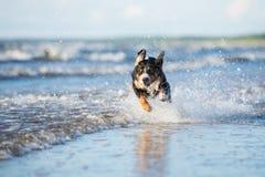 Beautiful dog running on the beach Royalty Free Stock Photos