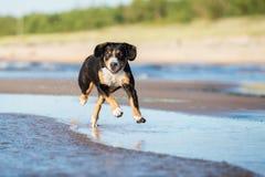 Beautiful dog running on the beach Stock Photos