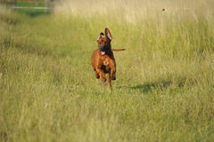 Beautiful dog running free Royalty Free Stock Image