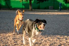 Beautiful dog running and playing with other dog royalty free stock photography