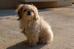 Beautiful dog. A shih tzu dog is under sunlight Stock Photography