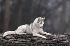 Beautiful dog siberian husky portrait on nature Stock Image