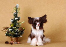 A beautiful dog is sitting with a Christmas tree. Chinese Crested with shaggy ears. Puppy on New Year`s greeting card. Holiday Christmas. Year of the dog on the Royalty Free Stock Photos