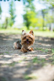 Beautiful dog. Sitting on green meadow yorkshire terrier sticking his tongue out Royalty Free Stock Photo