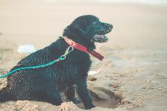 Beautiful dog sitting on the sand at the beach. Black Labrador Retriever with a collar stock images