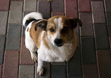 Beautiful dog sitting on the street. With white spots and brown spots. Mongrel beautiful dog. Dog sitting. Faithful dog Royalty Free Stock Image