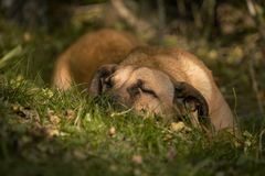 Sleepy brown dog in the grass. Beautiful dog sleeping the grass, he was very tired after a long hiking day Royalty Free Stock Photo