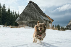 Beautiful dog in the snow Royalty Free Stock Images
