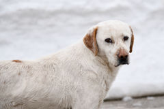Beautiful dog in the snow Royalty Free Stock Image