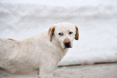 Beautiful dog in the snow Stock Images