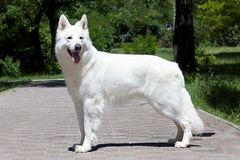 Beautiful dog of snowy white color of big white swiss shepherd breed. Happy smiling look, standing in stacking in green park. stock photo