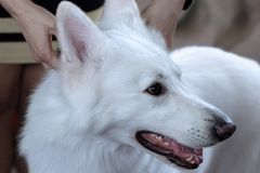 Beautiful dog of snowy white color. Big white swiss shepherd breed. Close up portrait of wise dog with happy smiling look. Indoors, copy space royalty free stock image