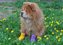 Beautiful dog in socks stock photography