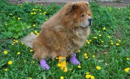 Beautiful dog in socks stock image