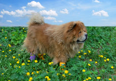 Beautiful dog in socks royalty free stock image