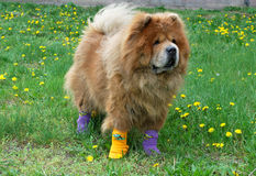Beautiful dog in socks Royalty Free Stock Image
