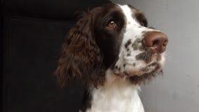 Springer spaniel dog royalty free stock images