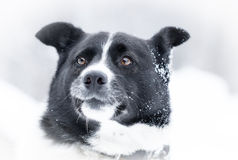 Snow dog Royalty Free Stock Photos