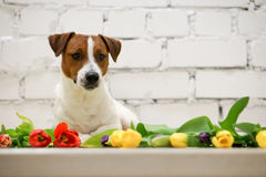 Beautiful dog with tulips Stock Images