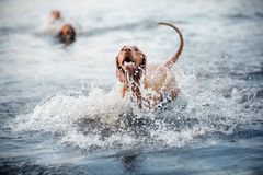 Beautiful dog Vizsla shakes off in the water royalty free stock image