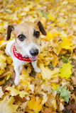 Beautiful dog walking golden autumn park Stock Photos