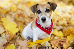 Beautiful dog walking golden autumn park Royalty Free Stock Photography