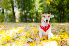 Beautiful dog walking golden autumn park Stock Images