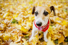Beautiful dog walking golden autumn park Royalty Free Stock Photo