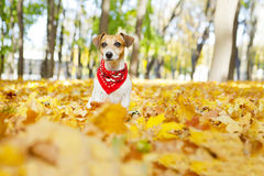 Beautiful dog walking golden autumn park Stock Image