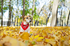 Beautiful dog walking golden autumn park Royalty Free Stock Images