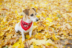 Beautiful dog walking golden autumn park Stock Photography