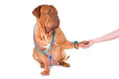 Beautiful Dog wearing Necklace Handahake. Handshake with a Beautiful Dog wearing Necklace Royalty Free Stock Photos