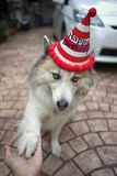 Beautiful dog wearing red and white stripe happy birthday party. Beautiful happy dog wearing red and white stripe happy birthday party hat royalty free stock photography