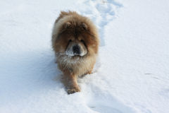 Beautiful dog on a white snow stock photo