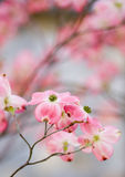 Beautiful Dogwood Blossoms with copyspace royalty free stock images