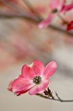 Beautiful Dogwood Blossoms with copyspace stock photo