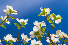 Beautiful Dogwood blossoms on a glorious spring morning.  Stock Images