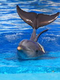 Beautiful dolphin. Swimming in the blue water Stock Photography