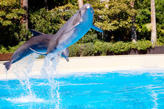 Beautiful dolphin jumping in the pool. Beautiful dolphin in the pool jumping high stock photos