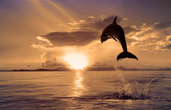 Beautiful dolphin jumping from shining water. Beautiful dolphin jumped at the sunset time Royalty Free Stock Images