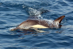 Beautiful dolphins in the ocean Royalty Free Stock Images