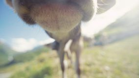 Beautiful domestic animal is grazing the grass in the mountains, than cow smelling the camera. Several other gazing cows stock video footage