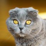 Beautiful Domestic Blue and Gray British Scottish Fold Short Hair Yellow Eyes Cat. Close Up, Horizontal, Selective Focus. Pets emotions concept stock photo