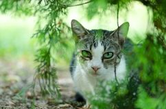 Beautiful domestic cat is hiding in the shadow of the bush in the garden. Beautiful domestic cat is hiding in the shadow of the bush in the garden Royalty Free Stock Images