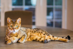 Beautiful Domestic cat Royalty Free Stock Photo