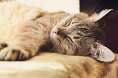 Beautiful domestic cat is sleeping Royalty Free Stock Photos