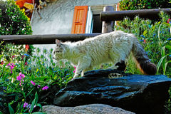 Domestic cat walks on stone. Stock Photos