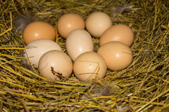 Beautiful domestic chicken eggs in a nest. Royalty Free Stock Photography