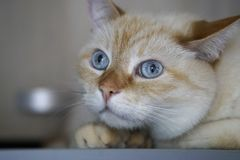 Beautiful Domestic Ginger Red abd Pastel Short Hair Blue Gray Eyes Cat Looking Straight Towards Camera. Close Up, Horizontal, Selective Focus stock photography